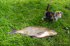 Huge bream lake fish catch little tabby kitten Stock Image