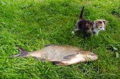 Huge bream lake fish catch little tabby kitten Stock Image