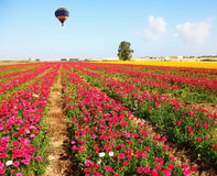 The huge bright balloon flies above a  field Stock Images