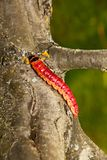 The huge, bright caterpillar creeps on a tree Stock Image