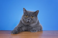 Huge British cat sitting at the table. Royalty Free Stock Photos