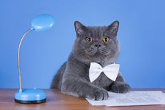 Huge British cat sitting at the table Royalty Free Stock Photos