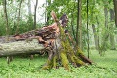 Huge broken tree in park Royalty Free Stock Image