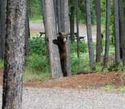 A huge brown bear hugging a tree at a campground in the yukon territories Royalty Free Stock Photo