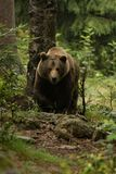 Huge brown bear seen from the front in the woods. In Bayerischer wald Royalty Free Stock Image