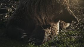Huge brown bear ursus arctos lying on the grass stock footage