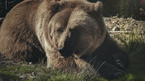 Huge brown bear ursus arctos lying on the grass stock video footage