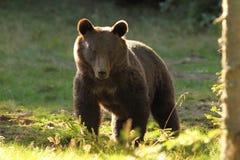 Huge brown bear, wild specimen in harghita mountains Stock Image