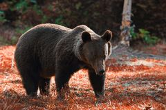 Huge brown bear in the wild Stock Photography