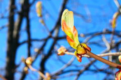 Huge bud on branch. With blue sky background Stock Photos