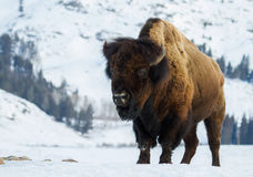 Huge bull bison in the yellowstone winter. A huge bull bison stands angling toward the camera in a snowy yellowstone winter landscape Royalty Free Stock Photos