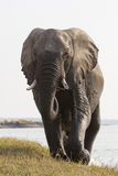 Huge bull elephant walking towards photographer Royalty Free Stock Images