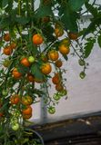 Huge bunches of yellow cherry tomatoes in a greenhouse on a farm stock photos