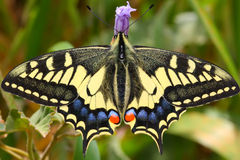 Huge butterfly Stock Photos