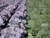 Huge Cabbage Field 3. Huge cabbage field in bright sunlight Royalty Free Stock Images