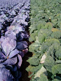 Huge Cabbage Field 4. Huge cabbage field in bright sunlight Royalty Free Stock Photo