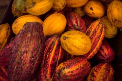 Huge cacao beans of red and yellow colors. Tropical cultivation stock photos