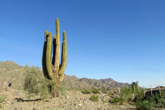 Huge cactus against the blue sky royalty free stock photos