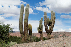 Huge cactus against the blue sky Stock Image