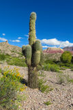 Huge cactus Royalty Free Stock Images