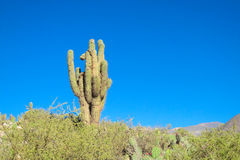 Huge cactus Royalty Free Stock Photography