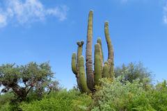 Huge cactus Royalty Free Stock Image