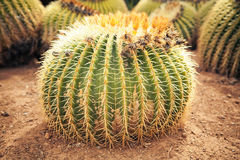 Huge cactus Stock Images