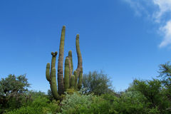 Huge cactus among the bushes, Cacti, los Cardones Stock Photography