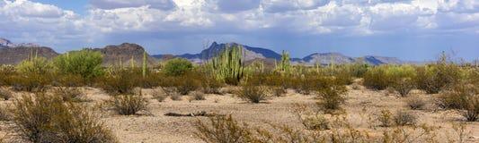 The huge cactus - Carnegie giant (Carnegiea gigantea). Organ Pip