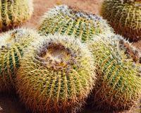 Huge cactus, closeup view. Four huge cactus, closeup view Royalty Free Stock Photo