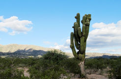 Huge cactus in the field. Big, huge, tall green cactus growing in the desert of South America, Argentina, Mexico, Chilie. Cacti, los Cardones. Desert stone and Royalty Free Stock Photos