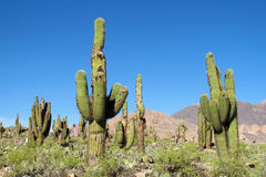 Huge cactus growing in South America Royalty Free Stock Image