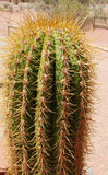 Huge cactus needles Stock Images