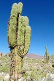 Huge cactus in South America altiplano Royalty Free Stock Photography