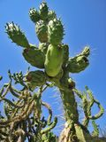 Huge cactus Royalty Free Stock Image