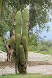 Huge cactus in urban area Stock Photography