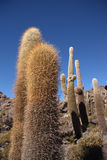Huge Cactuses over blue sky in Salar de Uyuni Royalty Free Stock Photo