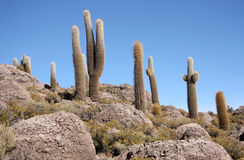Huge Cactuses in stones in Salar de Uyuni, Bolivia Royalty Free Stock Photos