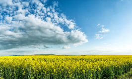Huge Canola,colza,rape Field With Beautiful Clouds Royalty Free Stock Image