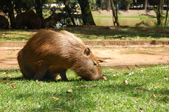 Huge animal eating grass. A huge capybara feeding with grass in a sunny day. The capybara is a brazillian animal that lives nearby rivers and likes to take Stock Images