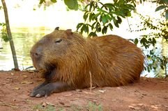Huge brazillian rodent. Huge capybara on the park relaxing. Different angle. Giant rodent resting Royalty Free Stock Photo