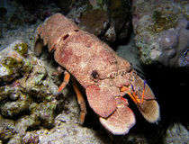 Huge carb at coral reef. Huge crab head, night dive at coral reef, Red Sea, Egypt Stock Photography