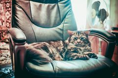 Huge cat Maine Coon lying in a leather chair Stock Photos