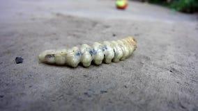 Giant caterpillar big larva creeps _ 1. Close-up. Macro shooting.