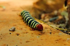 A huge caterpillar pseudosphinx tetrio with a velvety black and green striped body, a orange tail and legs and a red head, royalty free stock photos