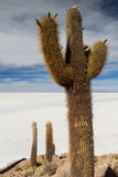 Huge catus at Isla Pia Pia Stock Photography