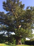 Cedar of Lebanon tree. Huge Cedar of Lebanon tree in England that's hundreds of years old royalty free stock image