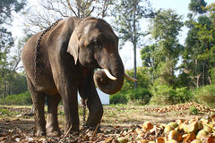 Huge Chained Elephant. At Dubare Elephant Camp Royalty Free Stock Photo