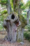 Huge chestnut tree trunk Royalty Free Stock Images