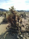 Huge cholla jumping cactus in Joshua Tree National Park. Huge cholla jumping cactus with many smaller ones in the background at the cactus garden at Joshua Tree Stock Image